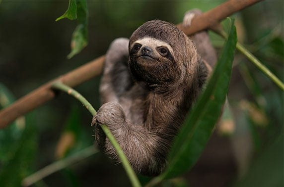 Amazon Sloth Amazon Wildlife