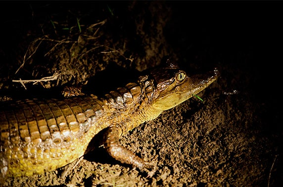 Close up of caiman in the Peruvian Amazon