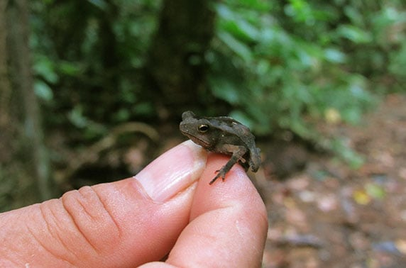 Mini frog hold by a explorer in the Northern Peruvian Amazon