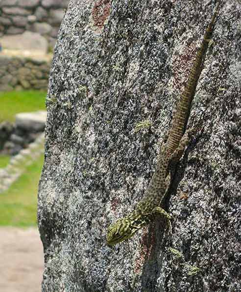 Lizard on a Inca stone we spotted when visiting Machu Picchu with kids