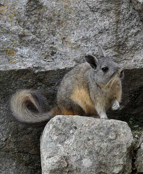 A Vizcacha rodent with a bushy tail we spotted while visiting Machu Picchu with Kids